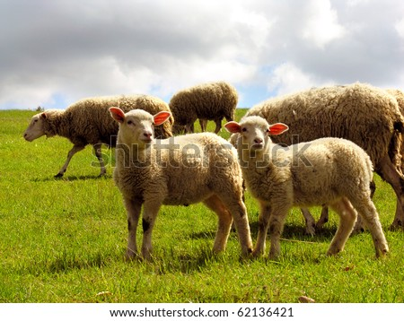 Two cute lambs with adult sheeps in the background - stock photo