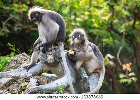 Two Dusky Leaf Monkey - stock photo
