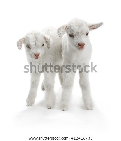 two goat kid ( 7 day ) isolated on white