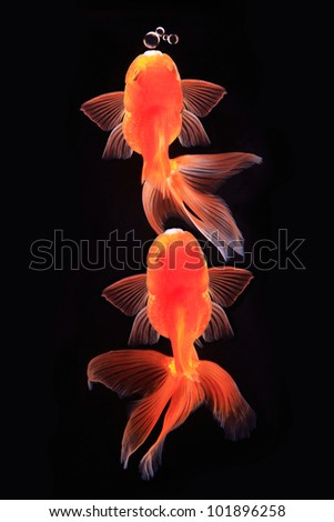 two gold fish with bubble in black background. - stock photo
