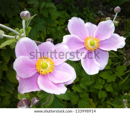 two Japanese Anemone flowers. - stock photo