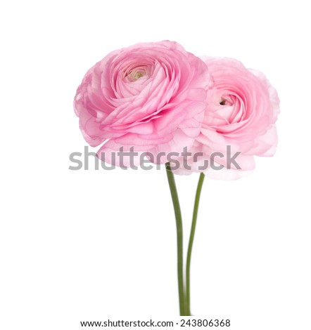 Two light pink  persian buttercup flowers (Ranunculus ) isolated on white background. - stock photo