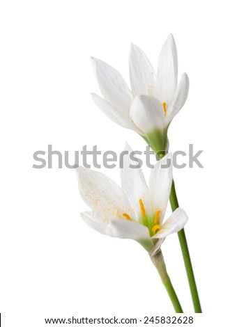 Two lilies isolated on a white background. zephyranthes candida - stock photo