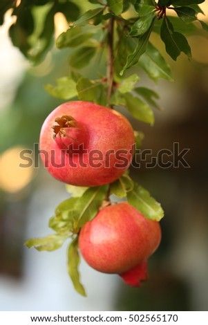 Two pomegranate fruit on the tree in the garden