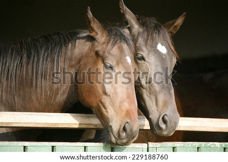 Two thoroughbred horses looking over stable door - stock photo