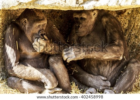 Two young playful gorillas  - stock photo