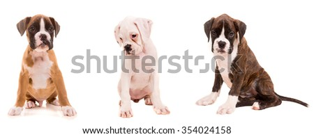 3 types of boxer puppies isolated over a white background - stock photo