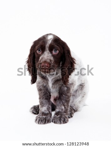 Ã?Â??ute puppy spaniel - stock photo