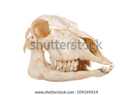 ?utout skull of domestic horse on a white background (Equus caballus) - stock photo
