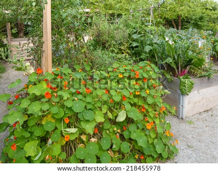 vegetables and nasturtiums in raised beds - stock photo