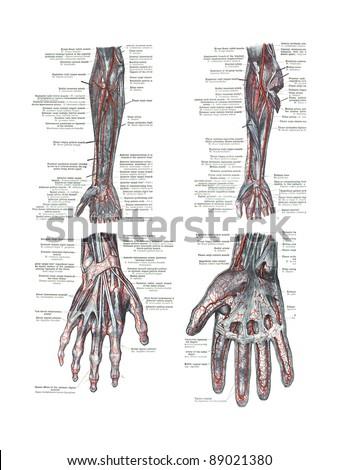 4 Views Human Hand Arm Atlas Stock Photo Royalty Free 89021380
