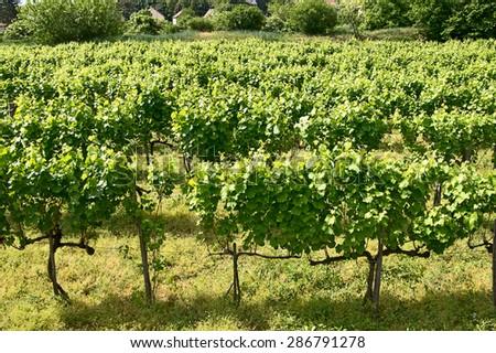 vineyards of Tokaj, Hungary - stock photo