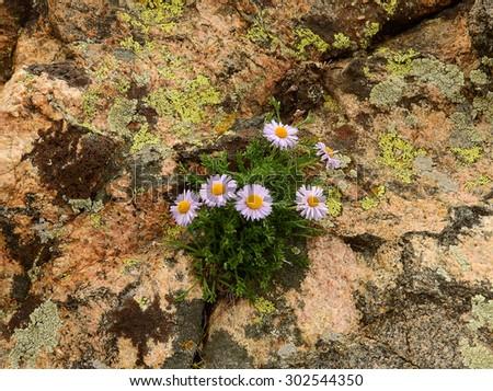 violet asters growing in granite in the james  peak wilderness area,  colorado     - stock photo