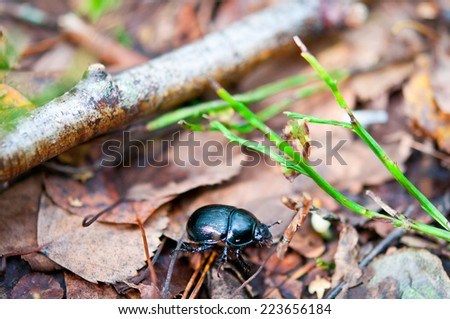 Violet or blue forest dung beetle on autumn leaf  - stock photo