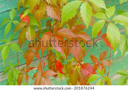Virginia creeper, Wild Vine - stock photo