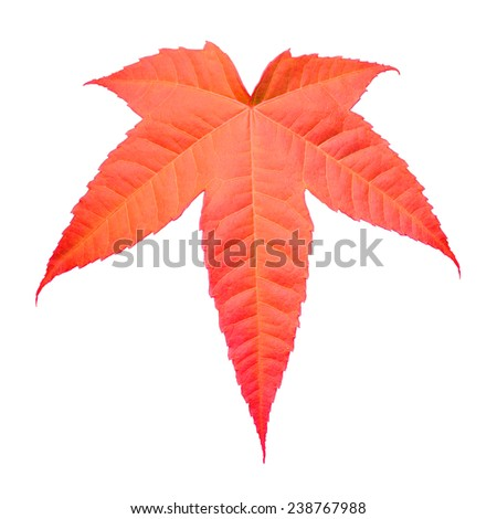 Vivid autumn maple leaf isolated on white background. This has clipping path. - stock photo