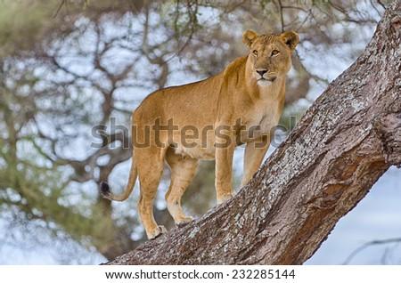 """Watchful"": A female lion standing in a tree, Tarangire National Park, Manyara, Tanzania, Africa - stock photo"