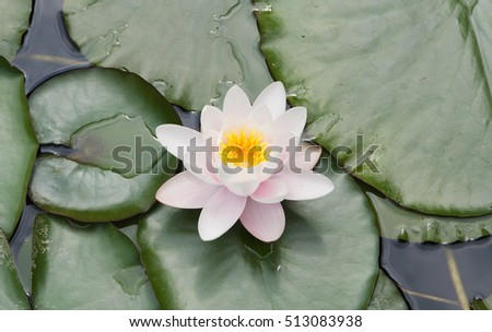 water lily flower and leaves, local focus, shallow DOF