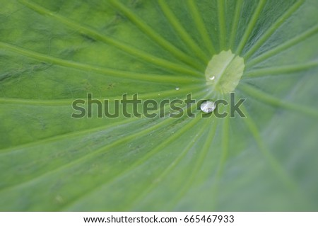 Water lily leaf with a water drop