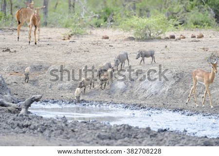 Waterhole scene. grouping of nyala and warthog at a waterhol, Zululand, South Africa. The bush is in the grip of  drought and a heavy traffic turns the shrinking water to mud. - stock photo