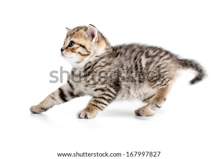 4 week kitten hanging back or receding isolated on white