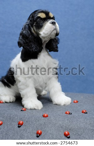 9 week old american cocker spaniel puppy surrounded by ladybugs - stock photo