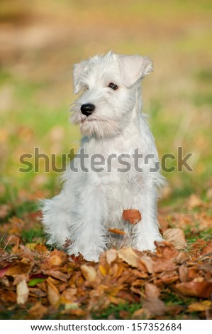 12-week-old Miniature Schnauzer puppy in the autumn leaves - stock photo