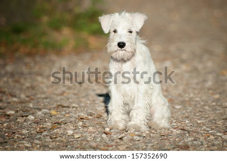 12-week-old Miniature Schnauzer puppy sitting on a path - stock photo