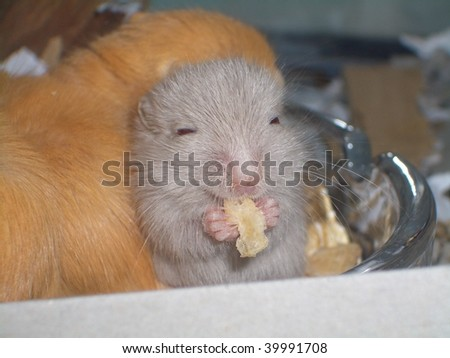 3 week old Mongolian Gerbil (aka Clawed Jird) (Meriones unguiculatus) enjoying a rice crisp