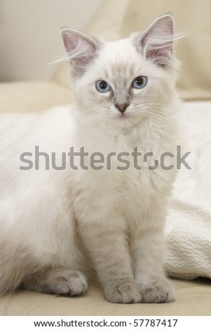 15 week old ragdoll kitten - stock photo