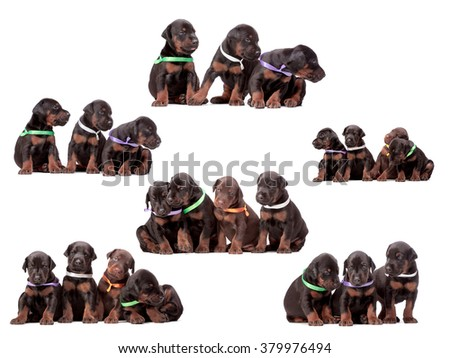 3 weeks doberman dog puppies, collage, isolated on white - stock photo