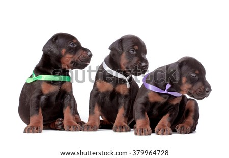 3 weeks doberman dog puppies, isolated on white - stock photo