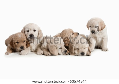 6 weeks old, adorable and curious Golden Retriever puppies. - stock photo