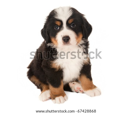 6 weeks old Bernese mountain dog puppy isolated on white