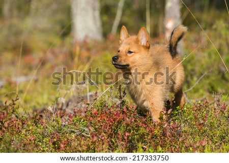 10 weeks old Finnish Spitz puppy - stock photo
