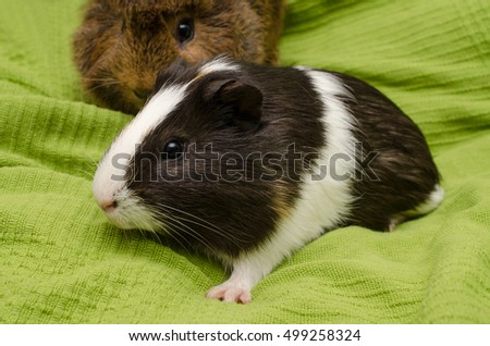 12 weeks old guinea pig (background: adult abyssinian)