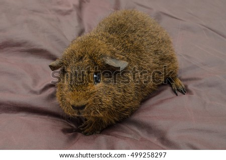 7 weeks old rex guinea pig (gold agouti) on silk