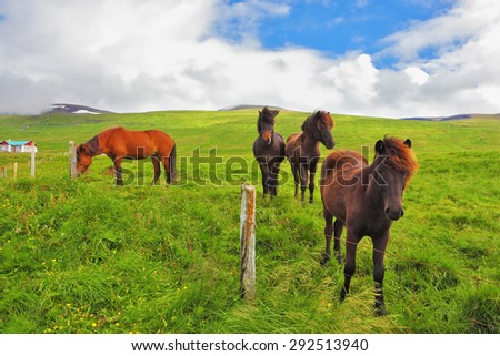 Well-groomed horses graze and play with each other in a meadow near the farm. Herd of Icelandic horses  - stock photo