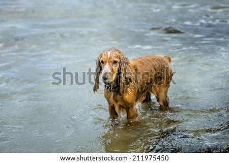wet dog Spaniel in water