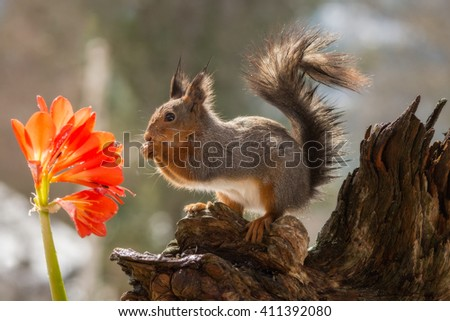 wet red squirrel standing on a tree trunk  with flower - stock photo