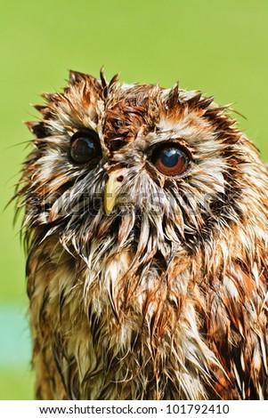 wet Tawny Owl - stock photo