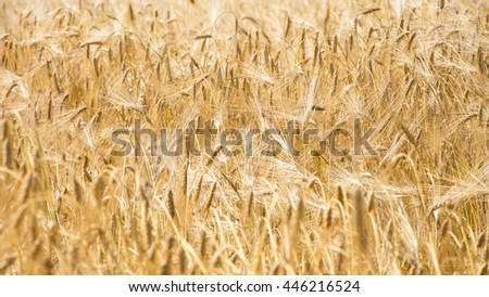 wheat colorful picture