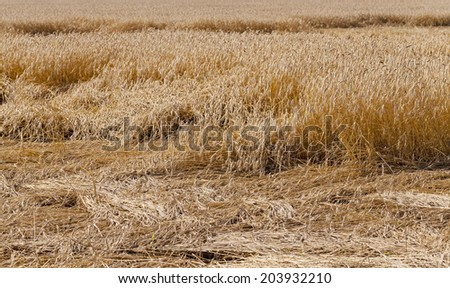 wheat destroyed by bad weather. some ears lie on the earth - stock photo