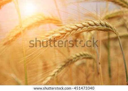 Wheat field . Golden wheat ears close-up with the sun. A fresh crop of rye. of a rich harvest concept. Rural landscape under shining sunlight. Soft lighting effects. small depth of field