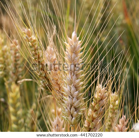 Wheat  on the field in june - stock photo