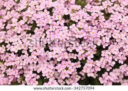 """White Aubrieta"" flowers or Aubretia flowers (Aubrieta Deltoidea). Aubrietas are flowering plants originate from southern of Europe to central Asia.  - stock photo"