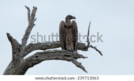 White-backed Vultures on bare tree trunk. South Africa, Kruger's National Park.
