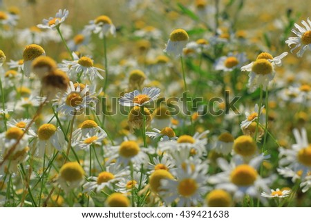 white camomile flower,  with green grass on the field - stock photo