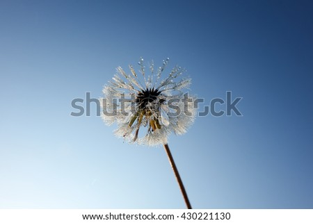 White dandelion on a blue sky and abstract blue background.
