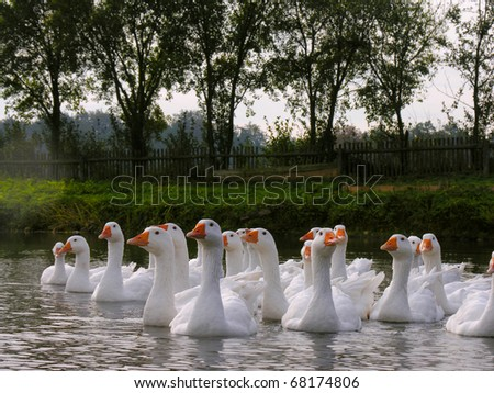 white domestic geese in a pond - stock photo